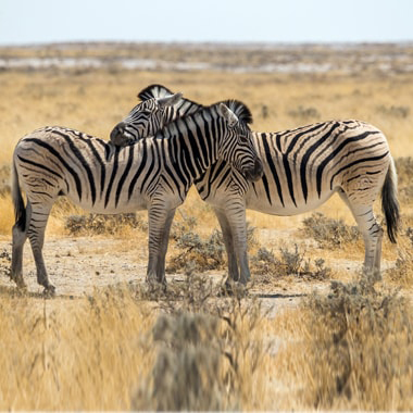 Raster to vector conversion from picture of two zebra